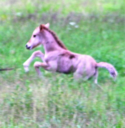 brunst häst kolik